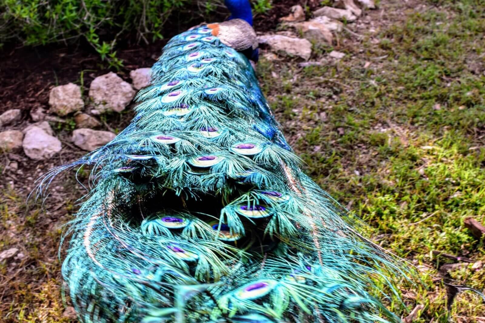 Austin peacock tail