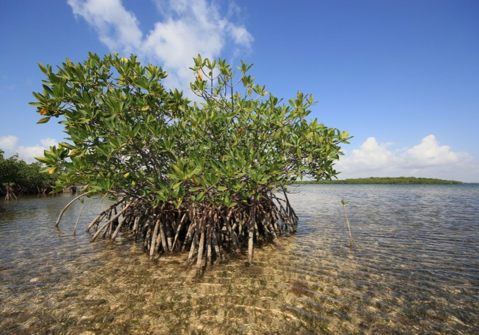 Red Mangoves and Turtle Grass beds on the flats of Biscayne National Park, Florida.
